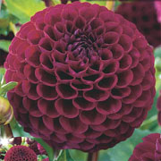 Summer Bulbs - Dahlias