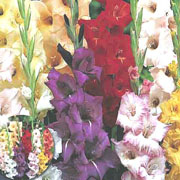 Summer Bulbs - Gladioli