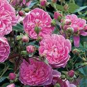 Harlow Carr Shrub Rose 6L