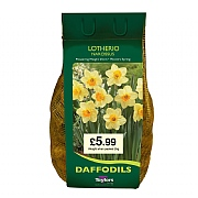 Narcissi Lotherio 2kg Carri-Pack