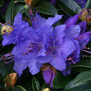 Rhododendron Gristede - 3 Ltr Pot