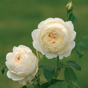 Claire Austin Shrub Rose 6L