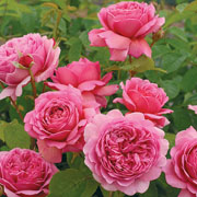 Princess Alexandra of Kent Shrub Rose 6L