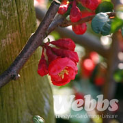 Chaenomeles x superba Crimson N Gold - 3 ltr deep pot