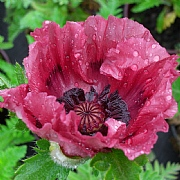 Papaver Patty's Plum 2L