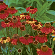Helenium Sahins Early Flowerer - 2L Pot