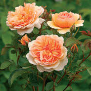 Port Sunlight Shrub Rose 6L
