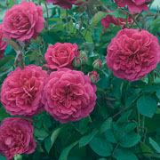 Sir John Betjeman Shrub Rose 6L