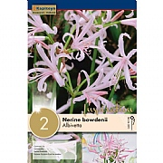 Nerine Bowdenii Nikita (Pack of 2)
