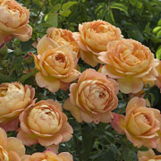 Lady of Shalott Shrub Rose 6L
