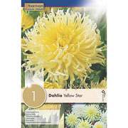 Dahlia Yellow Star (Single)