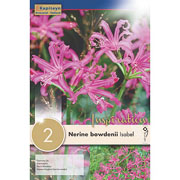 Nerine bowdenii Isabel (Pack of 2)