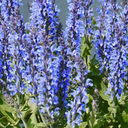 Salvia Sensation Sky Blue - 1.5L Pot