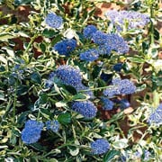 Ceanothus gr. Silver Surprise (Californian Lilac) - 3 litre pot
