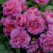 Princess Anne Shrub Rose 6L