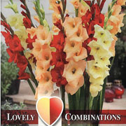 Gladioli Combinations Red Yellow & Orange (Pack of 25)