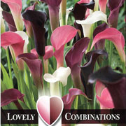 Zantedeschia Combinations Pink White & Almost Black (Pack of 3)