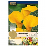Zantedeschia Captain Tusker® Syn.Calla (Ceres Yellow) - 1 Bulb