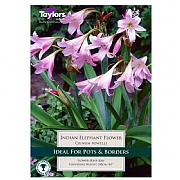 Crinum Powellii (Indian Elephant Flower) - 1 Bulb