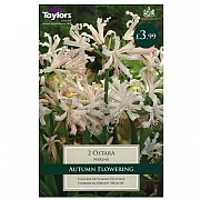 Nerine Ostara - 2 Bulbs