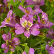 Alstroemeria Inca Lake - 2L Pot