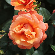 Easy Does It Floribunda Rose - 3 Ltr Pot