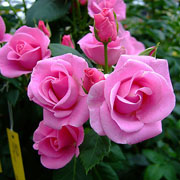 Lucky Floribunda Rose - 3 Ltr Pot