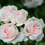 Lovely Bride Patio Rose - 3 Ltr Pot