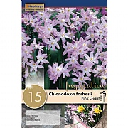 Chionodoxa 'Pink Giant' - (15 Bulbs)