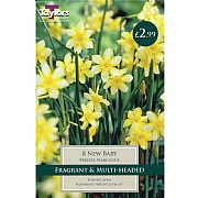 Narcissus 'New Baby' (10 Bulbs)