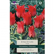 Tulip Greigii Fire Of Love (8 Bulbs)