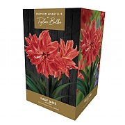 Amaryllis Lady Jane Gift Pack