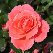 Happy Anniversary Floribunda Rose - 3 Ltr Pot