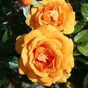 Golden Beauty Floribunda Rose - 3 Ltr Pot