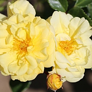 Golden Memories Floribunda Rose 3L