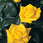 Golden Wedding Floribunda Rose 3L
