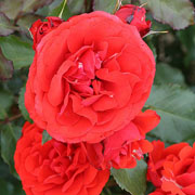 Remembrance Floribunda Rose - 3 Ltr Pot