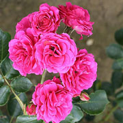 Starlight Express Climbing Rose - 4 Ltr Pot