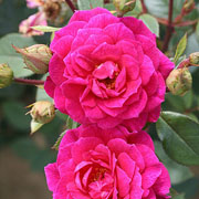 Gloriana Climbing Rose - 4 Ltr Pot