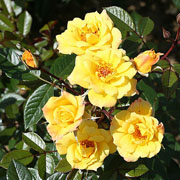 Laura Ford Climbing Rose - 4 Ltr Pot