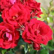 Ruby Anniversary Celebration Rose - 4.5 Ltr Pot