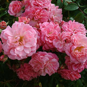 Rural England Climbing Rose - 4 Ltr Pot