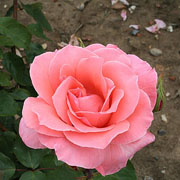 Blessings Floribunda Rose - 3 Ltr Pot