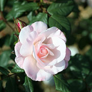 English Miss Floribunda Rose - 3 Ltr Pot