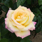 Peace Floribunda Rose - 3 Ltr Pot