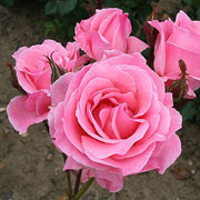 Queen Elizabeth Floribunda Rose - 3 Ltr Pot