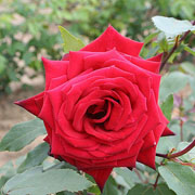 Ruby Wedding Floribunda Rose - 3 Ltr Pot