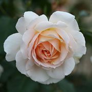 Chandos Beauty Floribunda Rose - 3 Ltr Pot