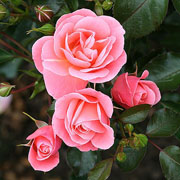 Fascination Floribunda Rose - 3 Ltr Pot