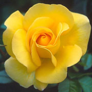 Keep Smiling Floribunda Rose - 3 Ltr Pot